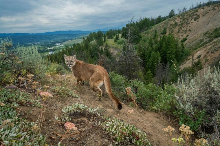 01-cougar-NationalGeographic_2384842.adapt.1900.1