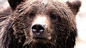hi-bc-130906-cp-jonathan-hayward-grizzly